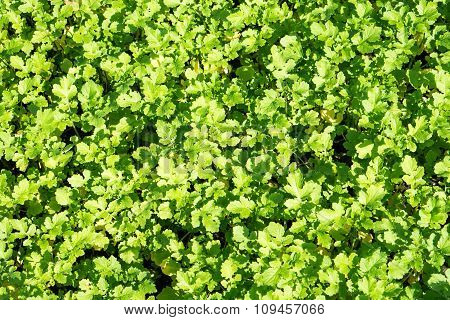 Field Of Green Leaf Mustard Background Filtered
