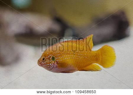 Colorful orange, yellow tropical fish. aged textured paper background, soft focus