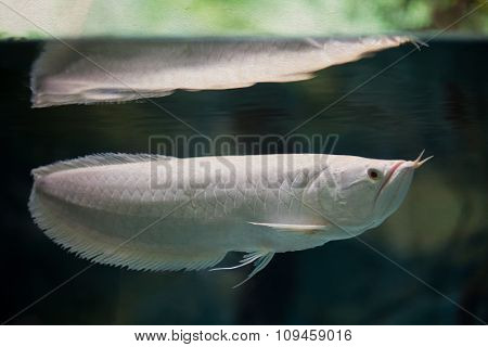 Swimming silver arowana. White color tropical fish. soft focus, vintage paper textured background