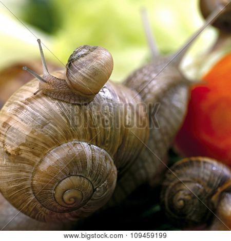 a small snail on the back of a larger one