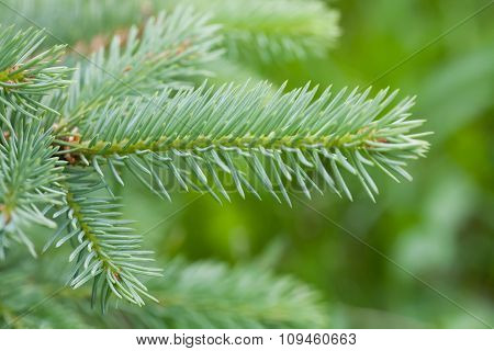 Xmas tree branch. Natural green spruce.