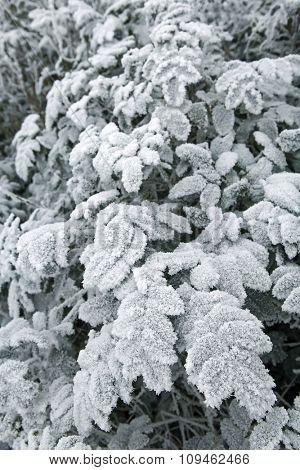 winter scene  - frost on leaves