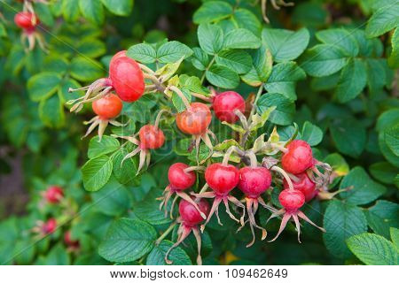 Red berries of wild rose.
