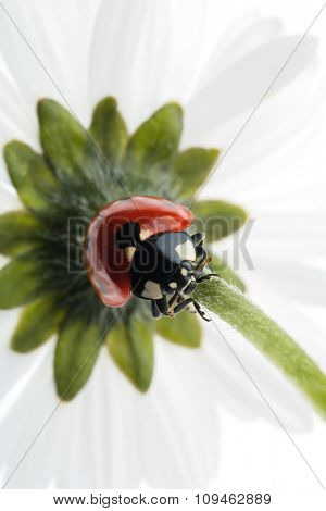 ladybug climbing down the flower stem