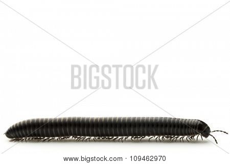 millipede on white