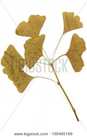 dried ginkgo biloba leaf on white