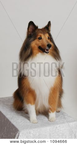 Proud And Pretty Sheltie Sitting For A Pose