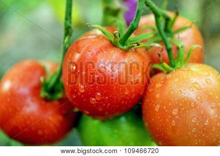 Tomatoes growing in garden