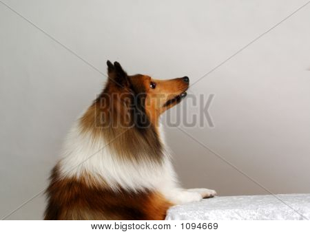 Profile Of A Sheltie Collie Sitting Up