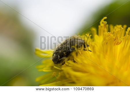 Bug On The Yellow Flower