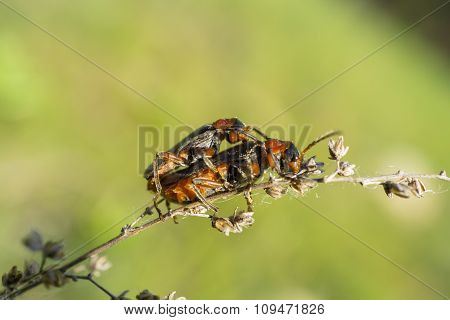 Reproduction Of Two Black And Orange Beetles On The Plant