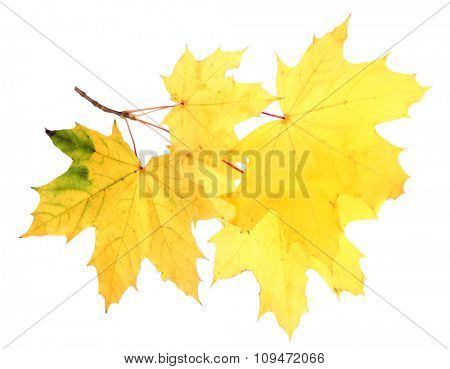 Branch with autumn maple leaves, isolated on white