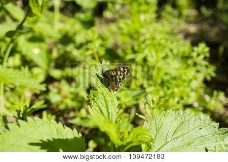 Leopard Butterfly On Nettle