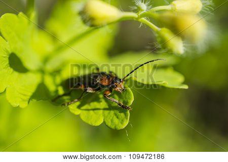 Orange Beetle On The Green Leaves Macro Photography