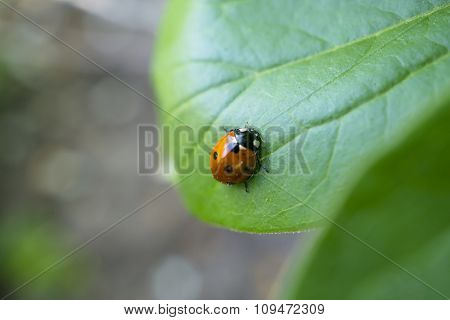 Red Ladybug On The Green Leaves Macro Photography