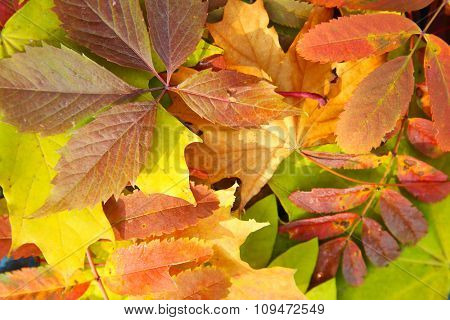 Colorful autumn leaves, close up