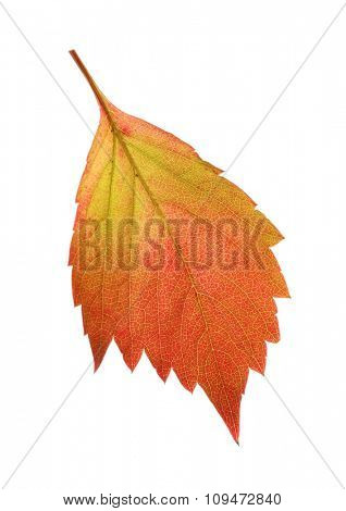 Autumn red and yellow leaf isolated on white