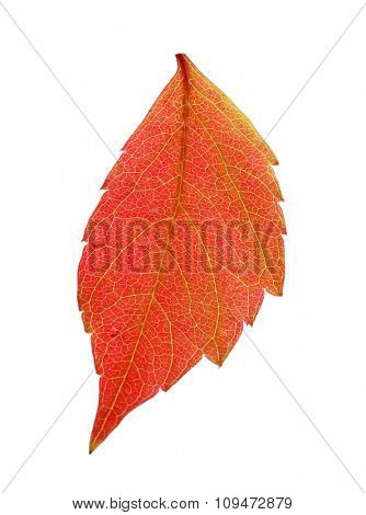 Autumn pink leaf isolated on white