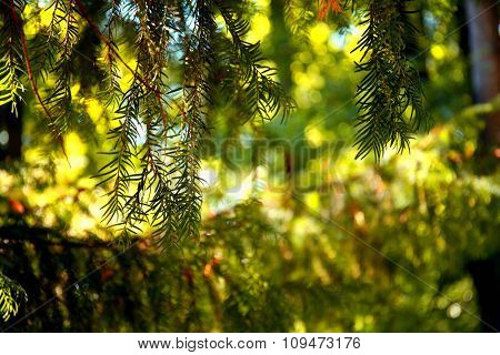Branch coniferous tree in a forest