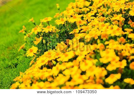 Yellow Flowers In The Garden. Spring Or Summer Background