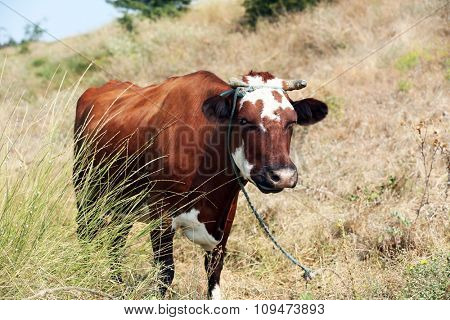 Cow on summer pasture