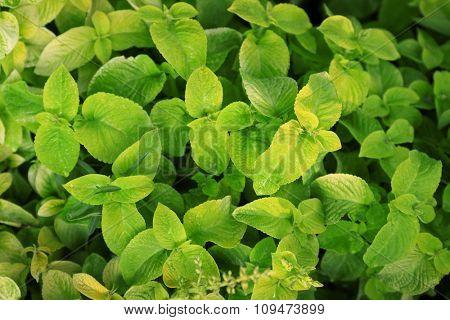 Fresh mint background