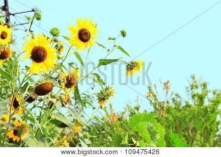 Sunflowers on white sky background