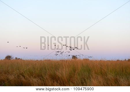 Flock of birds flying over a field on sunrise