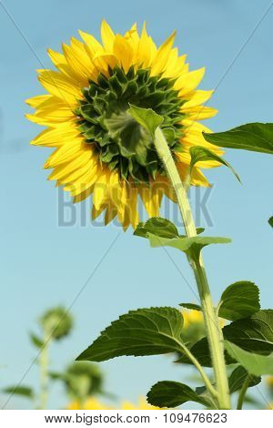 Sunflower over blue sky background