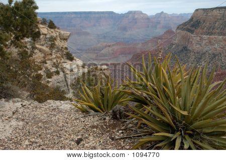 yucca at grand canyon