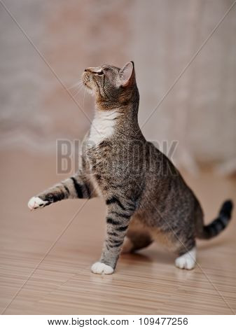Playful Domestic Striped Cat On A Floor.