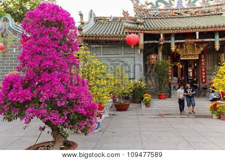 Hoa Mai tree (Ochna Integerrima) and bougainvillea in Saigon temple's courtyard for traditional lunar new year in Vietnam