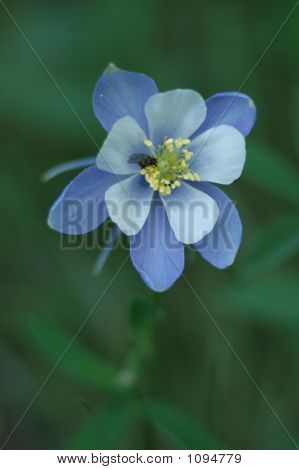 Blue columbine3