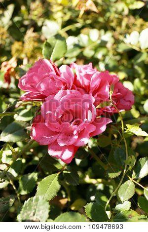 Pink tea-roses in park