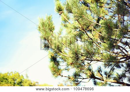 Pine branches in the sun on the sky background