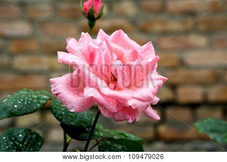 Pink Rose Flower Macro On Brick Wall Background
