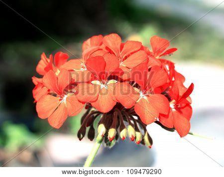 Tender Red Flower Pelargonium Cranesbill In The Garden Macro
