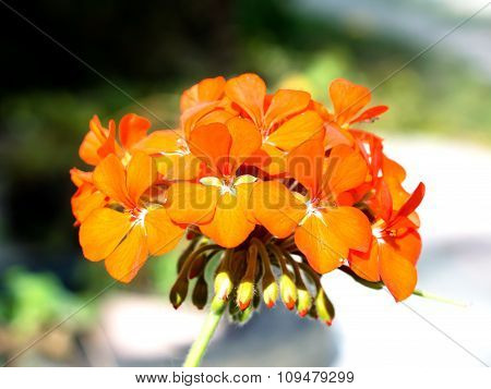 Tender Orange Flower Pelargonium Cranesbill In The Garden Macro
