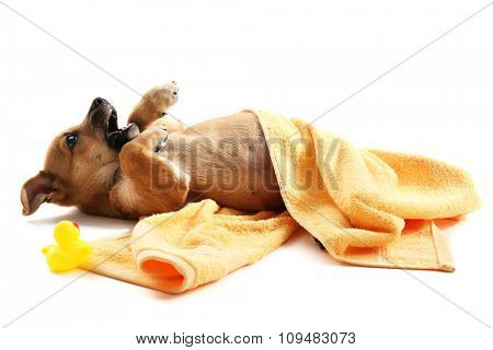 Puppy in towel biting toy duck isolated on white