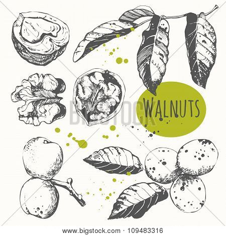 Set of hand drawn walnuts. Black and white sketch food.