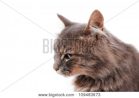 Beautiful grey cat isolated on white background