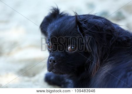 Cute small pekingese lying on sand outdoors