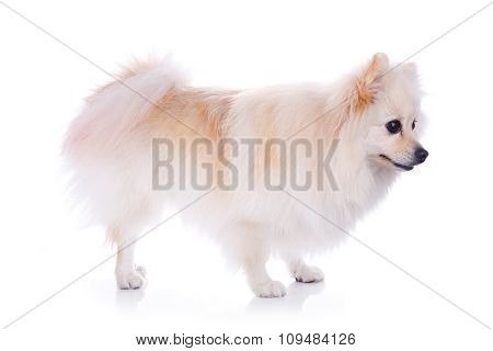 White Pomeranian Dog