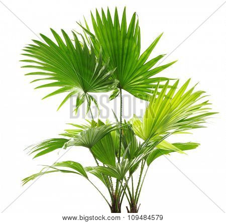 Palm tree (Livistona Rotundifolia), isolated on white