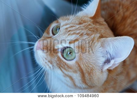 Concentrated red cat, close up