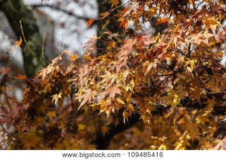 Maple Tree Red Orange On Sunny Day In Autumn