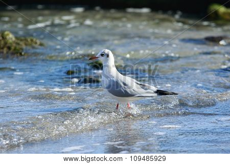 Seagull Steps In The Water