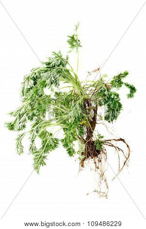 Wormwood (artemisia Absinthium L.)  With Root On White