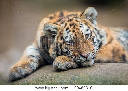 Cute tiger cub resting lazily
