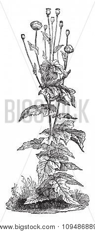 Papaver somniferum, vintage engraved illustration. Industrial encyclopedia E.-O. Lami - 1875.
